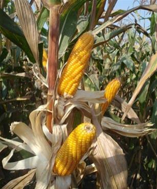 20130627150155-stories-principal-maiz-recogidansp-157.jpg