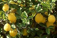 20110609201145-limones1.jpg