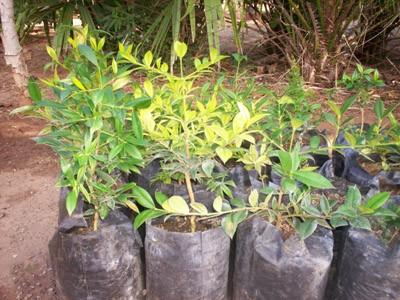 20121215060935-400-cultivo-manaju.jpg