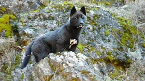20140414002215-perros-jibaros-salvajes.jpg